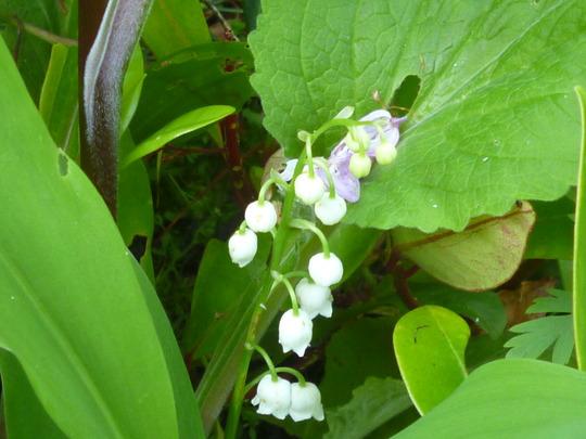Convallaria (Convallaria majalis (Lily of the valley))
