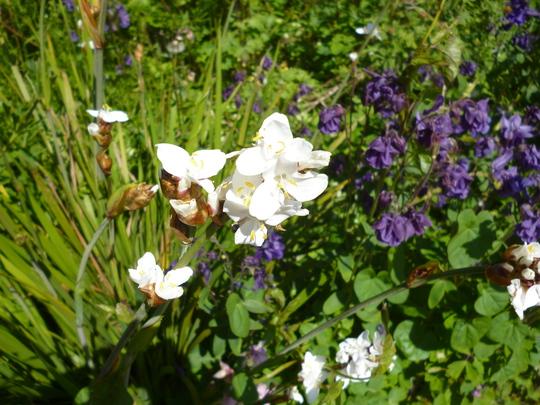 Libertia grandifolra (Libertia grandiflora)