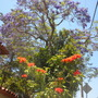Jacaranda mimosifolia - Jacaranda Tree; Spathodea campanulata -African Tulip Tree