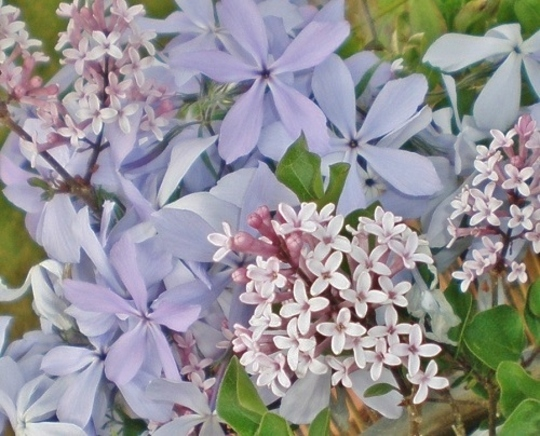Phlox divaricata and Syringa meyeri
