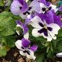 Viola - Garden pansy