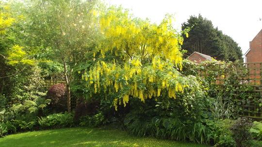 Laburnum  (Laburnum x watereri (Golden rain))