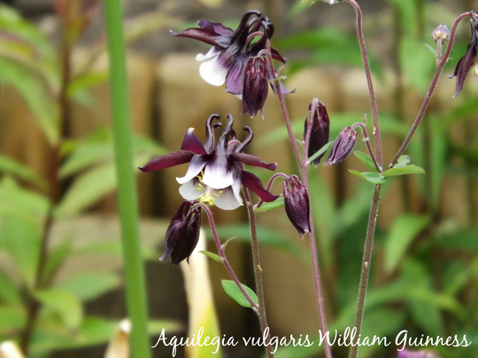 Aquilegia vulgaris William Guinness (Aquilegia vulgaris)