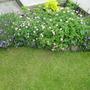 Geraniums and Campanula..