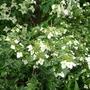 Hydrangea_scandens_subsp_chinensis_2014