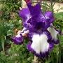 "Iris germanica ""Stepping Out"" (Iris germanica (Orris))"