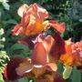 "Iris germanica ""Action Front"" (Iris germanica (Orris))"