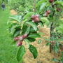 Walk in the Apple Orchard