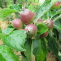 Apple Buds!