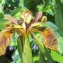 Iris Holden Clough