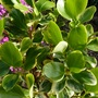 Griselinia littoralis (Griselinia)