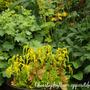 Chiastophyllum oppositifolium (Chiastophyllum oppositifolium)