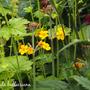 Primula bulleesiana (Primula bulleesiana)