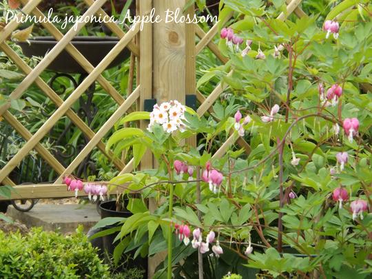 Primula japonica Apple Blossom (Primula japonica)