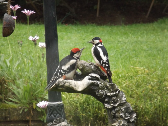 Greater Spotted Woodpeckers (Male and Chick).
