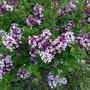 Syringa meyeri 'Palibin' (Syringa meyeri (Lilac))