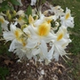Rhododendron 'Northern Hi-Lights'
