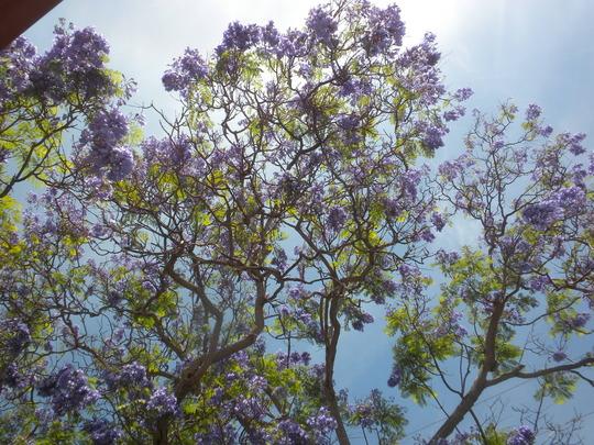Jacaranda momosifolia - Jacaranda Tree Flower (Jacaranda momosifolia - Jacaranda Tree)
