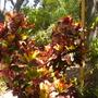 Codiaeum variegatum 'Angel Wing' - Croton (Codiaeum variegatum 'Angel Wing' - Croton)
