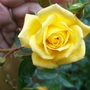 Rose_140530