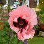 Princess Victoria Louise   Oriental Poppy  for Michaella
