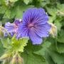 Geranium_blue_140526_20_