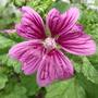 French Hollyhock bloom