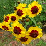 Close up of Plains coreopsis blooms
