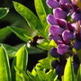 Bumble bee visiting a lupin