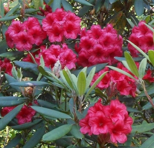 Rhododendron x griffithianum 'The Honorable Jean Marie de Montague' (Rhododendron x griffithianum 'The Honorable Jean Marie de Montague')