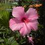 Pink Tropical Hibiscus (Hibiscus rosa-sinensis) (Pink Tropical Hibiscus (Hibiscus rosa-sinensis))