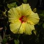 Yellow Tropical Hibiscus (Hibiscus rosa-sinensis) (Yellow Tropical Hibiscus (Hibiscus rosa-sinensis))