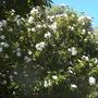 Cordia boissieri - Anacahuita, Mexican Olive, Texas Olive (Cordia boissieri - Anacahuita, Mexican Olive, Texas Olive)
