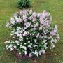Syringa 'Miss Kim' (Syringa pubescens)