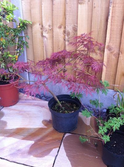Acer palmatum dissectum 'Ornatum'