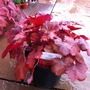 Heucherella_cherry_cola