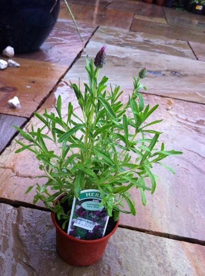 Lavender Kew Red (Lavandula stoechas Kew Red)