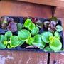 Begonia_semperflorens_4_6_14