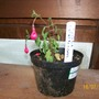 Fuchsia (Fuchsia)