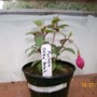 Fuchsia - Delta Sarah (Fuchsia)