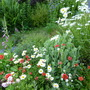 Geum and Shasta Daisies