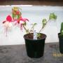 Fuchsia - Swing Time (Fuchsia)