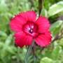 Dianthus deltoides Red (Dianthus deltoides)