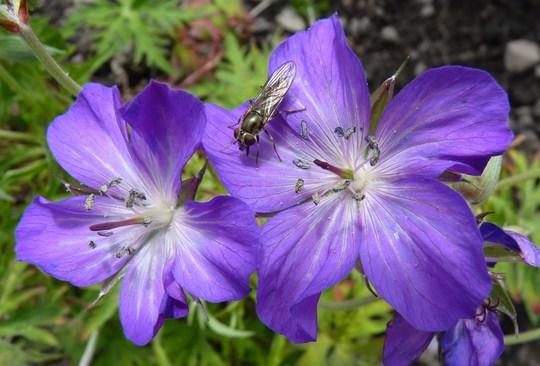Geranium clarkeii 'Kashmir Purple' (Geranium clarkei)