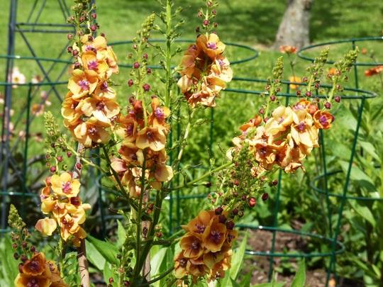 Verbascum flowers (Verbascum bombyciferum (Mullein))