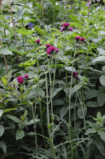 Cirsium rivulare Atropurpureum (Cirsium rivulare Atropurpureum)