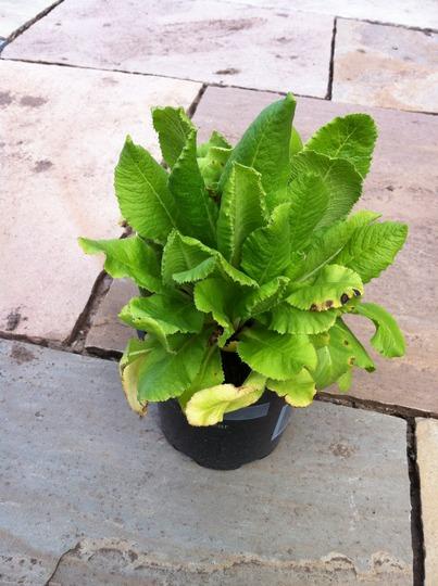 Drumstick Primula (Primula denticulata)