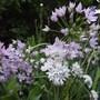 Alium unifolium Rosy lilac & Amplectens Graceful