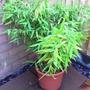 Bamboo - Fargesia (Fargesia murieliae 'Simba')