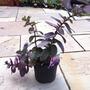 Sedum_purple_emperor_5_6_14